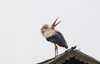 Leking stork