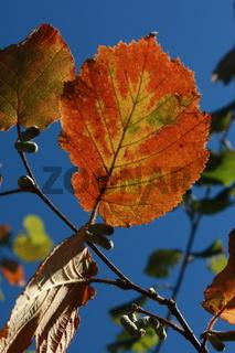 Herbstblatt, orange gegen blauen Himmel