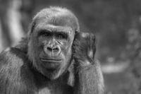 Gorilla-Portrait in Schwarz-Weiß-Darstellung mit direktem Blickkontakt