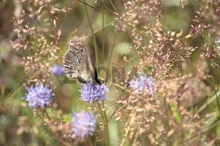 Schmetterling, brauner Waldvogel auf Witwenblume