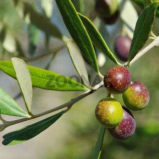Olive 48
