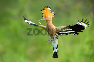 Enchanting eurasian hoopoe, upupa epos, holding a caterpillar while flying