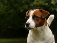 Beautiful male terrier dog outdoors in park