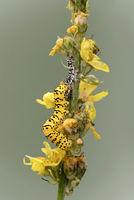 Raupe des Späten Königskerzen-Mönchs (Cucullia lychnitisi) auf ihrer Futterpflanze