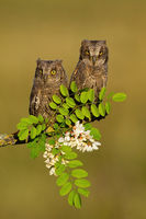 Pair of eurasian scops owl resting on blooming tree in spring