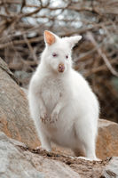 Red-necked Wallaby white albino female