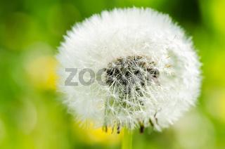Dandelion on background green grass