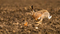 Brown hare sprinting on field in autumn sunlight.