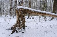 Abgebrochener Baumstamm im verschneiten Wald