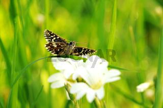 Kleiner Würfel-Dickkopffalter auf weißen Blumen I