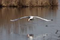 A mute swan (Cygnus olor) flying low above lake Federsee in Bad Buchau, Germany