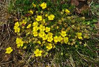 Frühlings-Fingerkraut; Potentilla neumanniana; spring cinquefoil;