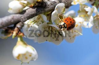 Asiatischer Marienkäfer sammelt Pollen