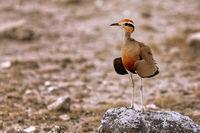 Temminckrennvogel, Etosha NP, Namibia | Temminck's courser, Etosha NP, Namibia