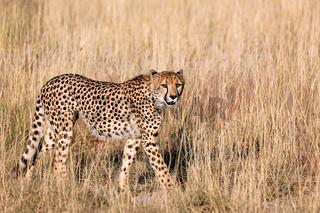 Gepard im hohen Gras im Etosha-Nationalpark, Namibia; cheetah in the grass at Etosha National Park, Namibia, Acinonyx jubatus