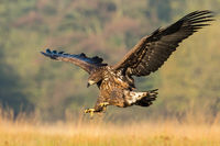 Juvenile sea eagle hunting in flight on a meadow in autumn nature.