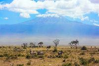 Large herd of zebras graze