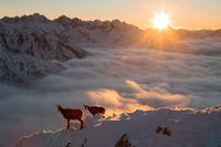 Two tatra chamois standing on mountains in sunrise
