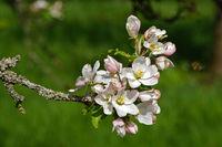 Apfelblüte, apple blossom, Malus domestica