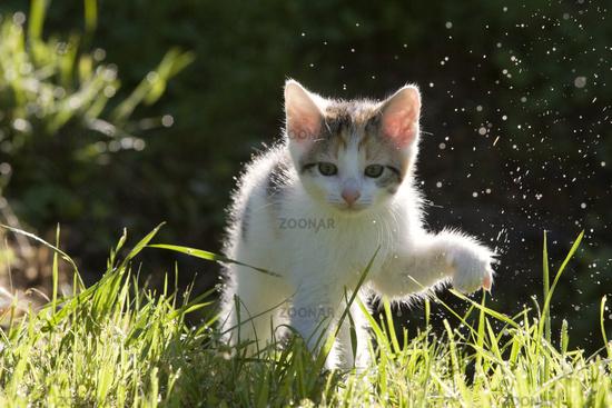 Kaetzchen im Gegenlicht mit Tautropfen, kitten in the back-light with dew drops