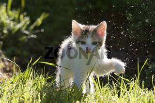 Kaetzchen im Gegenlicht mit Tautropfen, kitten in the back-light with dew drops