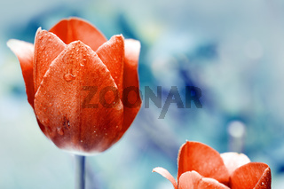 Red Tulip isolated on a blur background .