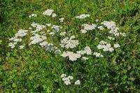 210723-21 Gemeine Schafgarbe, Common Yarrow, Achillea millefolium.jpg