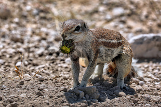 Borstenhörnchen, Erdhörnchen, Namibia, Xerus, african ground squirrel, wildlife