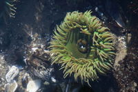 A tidal pool filled with sea anemones and mussels on the West Coast Oregon USA