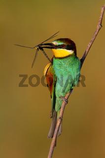 European bee-eater holding dragonfly in beak in sunlight