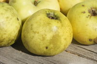 20211001_Malus domestica Weisser Wintertaffetapfel, Apfel, apple, Gloeodes pomigena, Rußfleckenkrankheit, sooty blotch002.jpg