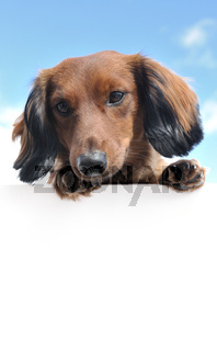 Red Miniature Long-Haired Dachshund Above a Blank Sign