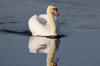 A mute swan (Cygnus olor)  lake Federsee in Bad Buchau, Germany