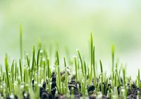 Fresh green spring grass with dew drops closeup