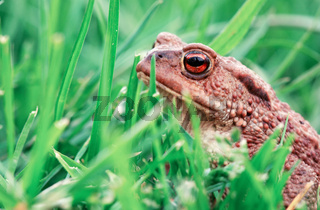 Close up of brown frog in green grass background.
