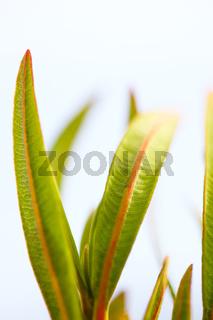 Blätter eines Oleanders (Nerium oleander).