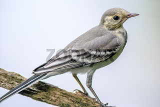 White wagtail perched on a branch in summertime.