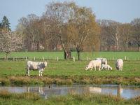 weisse kühe auf einer Weide im Münsterland