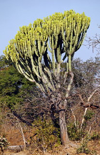 Euphorbia, Wolfsmilch im Kafue Nationalpark, Sambia; spurge at Kafue National Park, Zambia