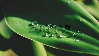 Rain droplets on sunny leaf of agave plant