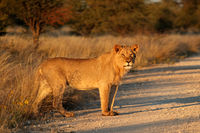 Young male African lion (Panthera leo) in late afternoon light