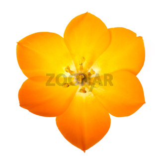 Sun Star on white background (lat. Ornithogalum Dubium)