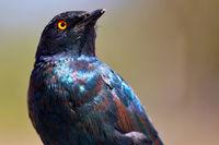 Glanzstar, Etosha NP, Namibia | glossy starling, Etosha NP, Namibia