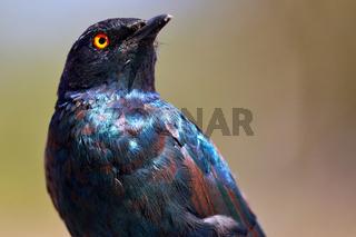 Glanzstar, Etosha NP, Namibia   glossy starling, Etosha NP, Namibia