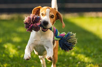 Beagle dog runs in garden towards the camera with colorful toy.