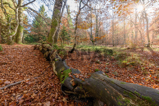 Beech forest in the mountain in autumn.