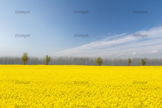 rapeseed flower fields in bright spring