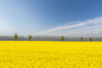 rapeseed flower fields in bright spring