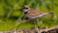 Little ringed plover standing on ground in summer nature