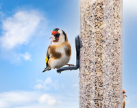 European goldfinch sitting on a bird feeder